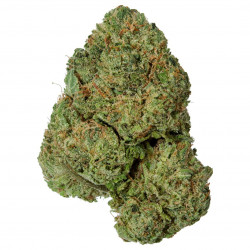 Buy White Shark Weed
